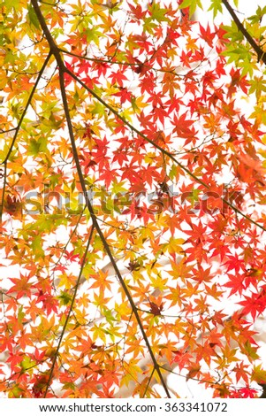 Maple tree in autumn, Japan