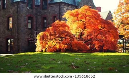 Maple Tree in Boston. - stock photo