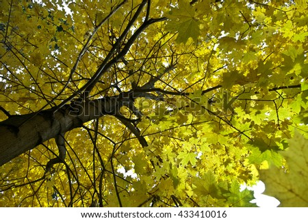 Maple tree leaves in autumn forest - stock photo