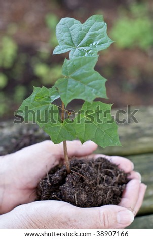 Maple tree seedling in good hands
