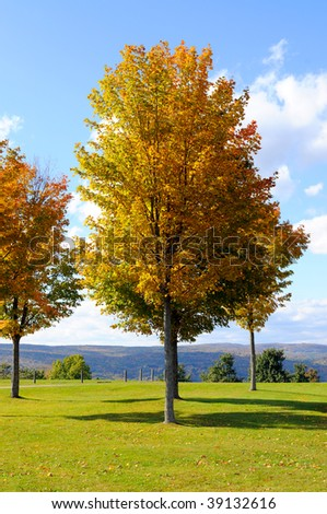 Maple tree with a view - stock photo