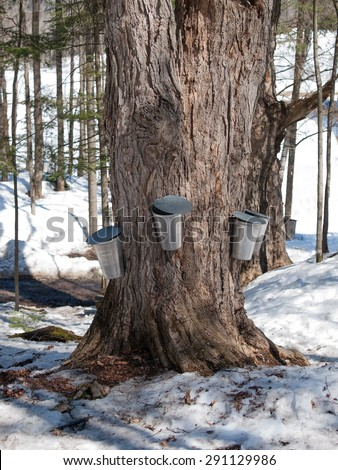 Maple tree with traditionnal buckets - stock photo