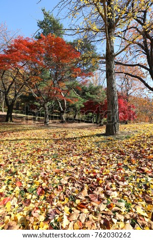 maple trees and fallen leaves in autumn
