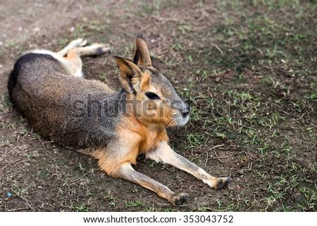 Mara animal is laying on ground - stock photo