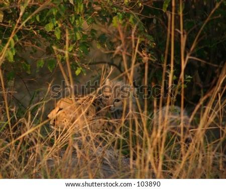 mara cheetahs 13,04 - stock photo