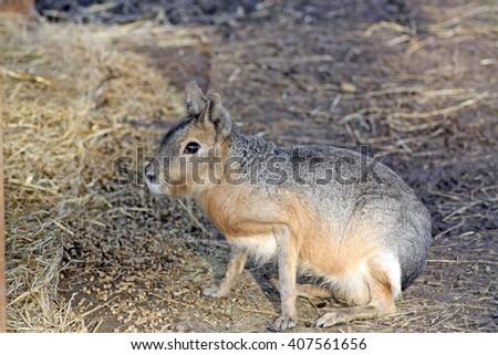 mara (Dolichotis) in a field  - stock photo
