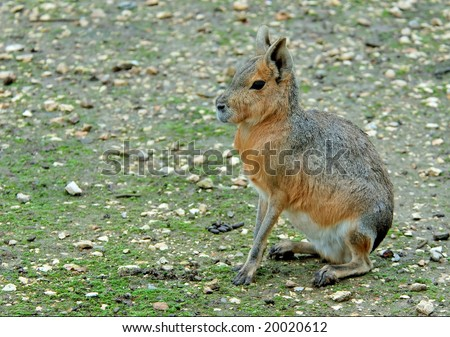 Mara - large long-legged rodent. Eats a grass and a bush. Well runs and jumps. Digs greater holes for a children - stock photo