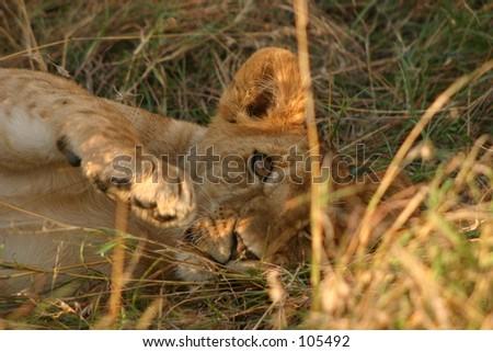 Mara lions 3,04 - stock photo