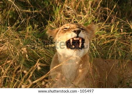 Mara lions 8,04 - stock photo