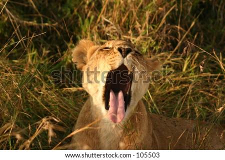 Mara lions 14,04 - stock photo