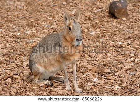 Mara, rodent from South America