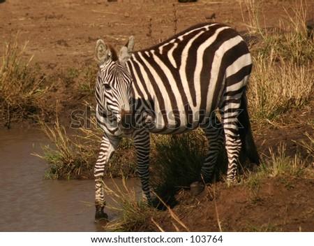 mara zebra 1,04 - stock photo