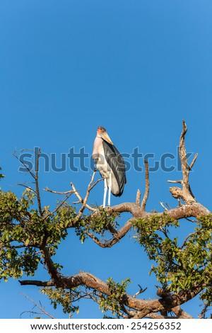 Marabou bird sitting on a branch against the blue sky Kenya  - stock photo