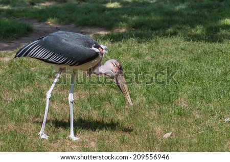 Marabou stork on the hunt for food on a green meadow - stock photo