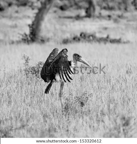 Marabou Stork on the Masai Mara National Reserve - Kenya (black and white) - stock photo