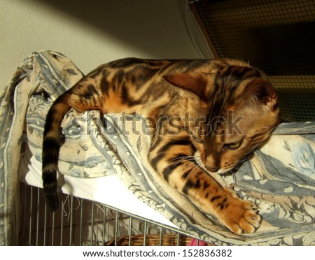Marble bengal cat relaxing taken at home - stock photo