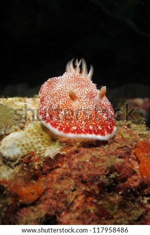 Marble chromodoris nudibranch (Chromodoris sp.). Nudibranch is a type of sea slug known for its colorful body. - stock photo