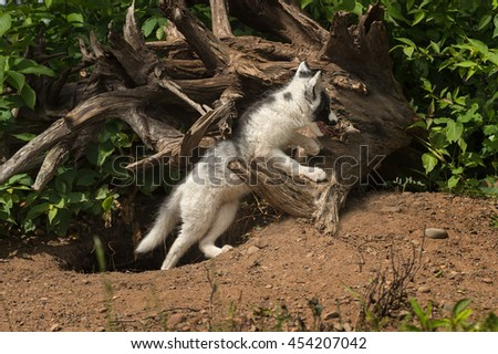 Marble Fox (Vulpes vulpes) Leans on Log - captive animal