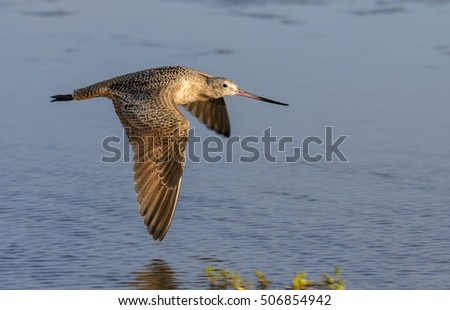 Marbled godwit (Limosa fedoa) flying over tidal marsh, Galveston, Texas, USA