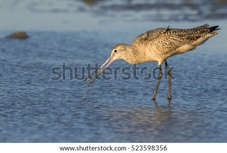 Marbled godwit (Limosa fedoa) hunting for seaworms at the ocean beach, Galveston, Texas, USA.