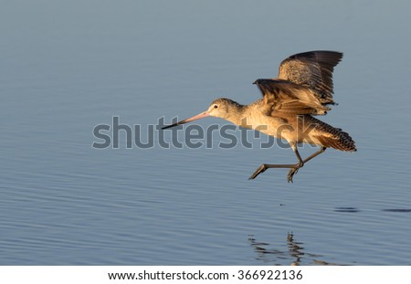 Marbled godwit (Limosa fedoa) taking off in shallow water near the ocean coast, Galveston, Texas, USA. - stock photo