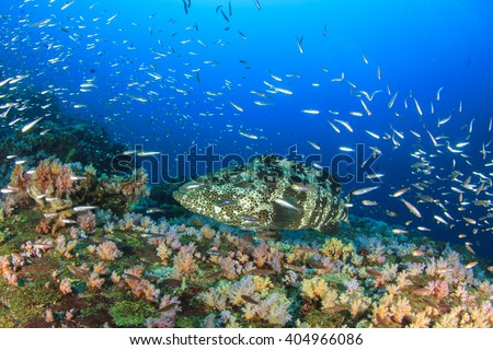 Marbled Grouper fish on coral reef - stock photo