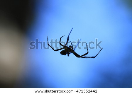 Marbled Orb Weaver Spider male
