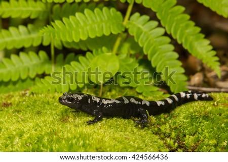 Marbled Salamander - stock photo