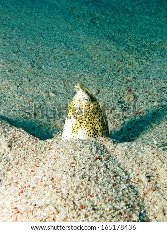 Marbled snake eel - stock photo