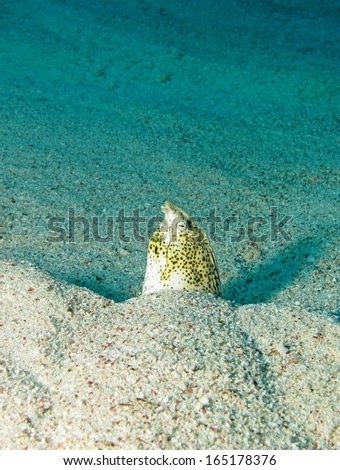 Marbled snake eel out of the hole - stock photo