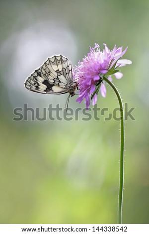 Marbled White Butterfly - Melanargia galathea - stock photo