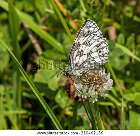 Marbled White Butterfly nectaring on Clover, showing underwing. - stock photo