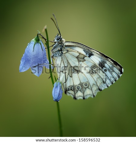 Marbled White (Melnargia Galathea) covered with dew drops - stock photo