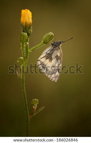 Marbled White (Melnargia Galathea) in the early morning - stock photo