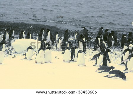 March of the Penguins; Adelie penguins, moving down to the shoreline, [Pygoscelis adeliae] Brown Bluff, Antarctica - stock photo