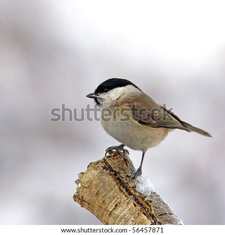 March tit on a snowy branch - stock photo