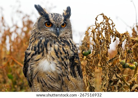 MARCH, UK - SEPTEMBER 11: A juvenile Eagle owl concentrates on prey at the end of a lure as part of the birds training for future public flying displays on September 11, 2014 in March  - stock photo