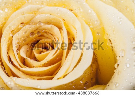 marco image of a yellow rose with droplets on petals - stock photo