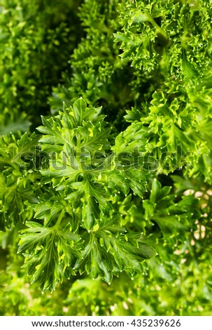 Marco shot with shallow depth of field, selective focus on top center of parsley leaf. Filled frame in vertical layout.  - stock photo