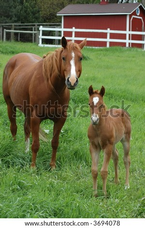 Mare and Colt in Pasture - stock photo