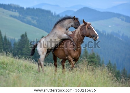 mare and cute playful foal in summer mountain pasture - stock photo