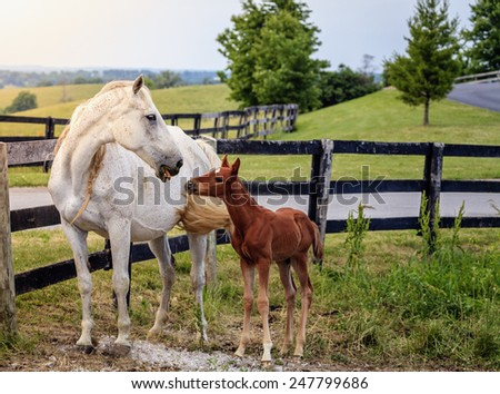 Mare and her colt by the fence on a farm in Central Kentucky - stock photo