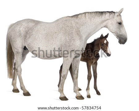 Mare and her foal, 14 years old and 20 days old, standing in front of white background