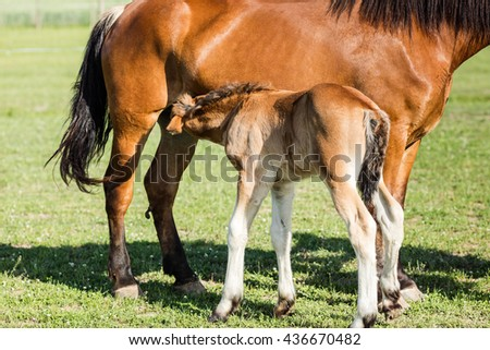 Mare feeding a young foal. Foal drinking milk from her mare. - stock photo