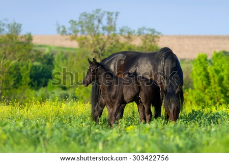 Mare with colt in field with yellow flowers