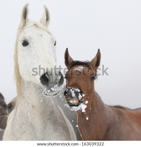 Mare with foal looking at you in winter - stock photo