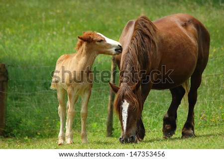 mare with her foal grazing in the field - stock photo