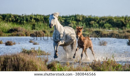 Mare with her foal. White Camargue horse. Parc Regional de Camargue. France. Provence. An excellent illustration - stock photo