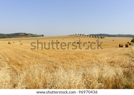 Maremma (Tuscany, Italy), country landscape with olive trees at summer
