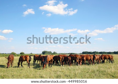 Mares and foals graze on green grass rural scene in the background. Young chestnut foals and mares eating gras on meadow summertime outdoor rural scene - stock photo
